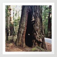 Inside A Redwood  Art Print