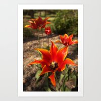Red Spiky Tulips Art Print