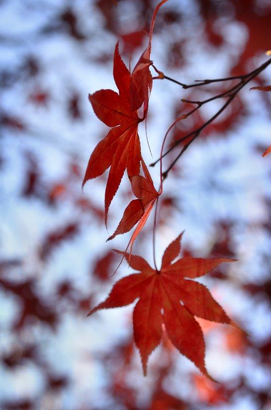 Japanese Red Maple Art Print
