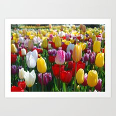 Colorful Springtime Tulips in the Netherlands Art Print