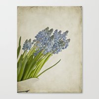 Muscari Armeniacum Canvas Print