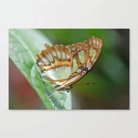 Gorgeous George Butterfly Canvas Print