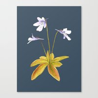 Butterwort - Pinguicula macroceras Canvas Print