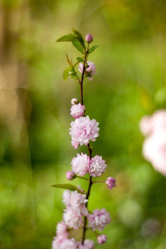 Flowering Almond Blossoms Art Print
