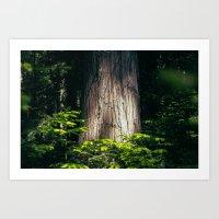 Cedar Art Print