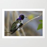 Costas Hummingbird Art Print