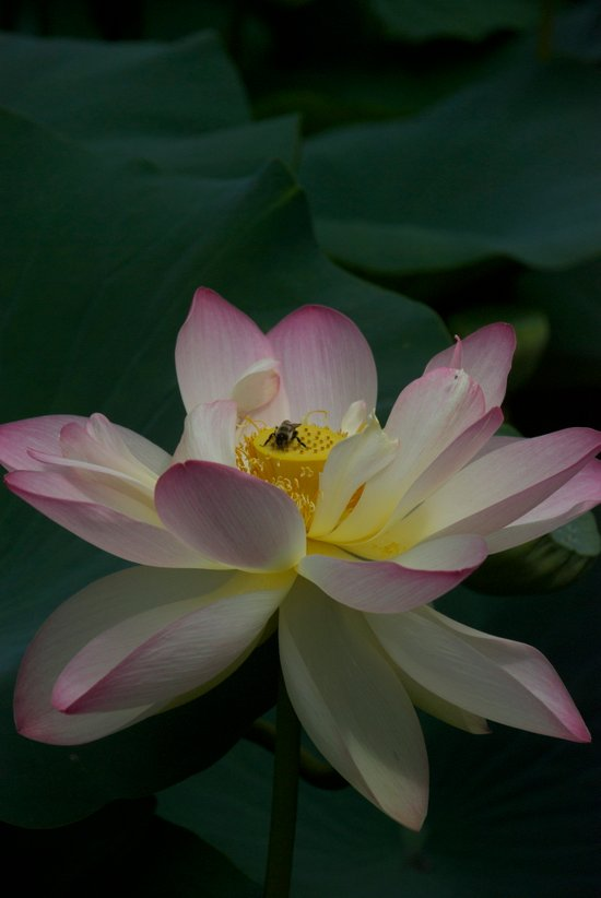 Lotus flower 3 Art Print