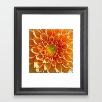 orange dahlia Framed Art Print