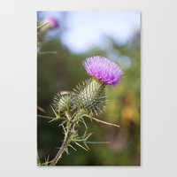 Bull Thistle in Mt. Rogers, Virginia Canvas Print