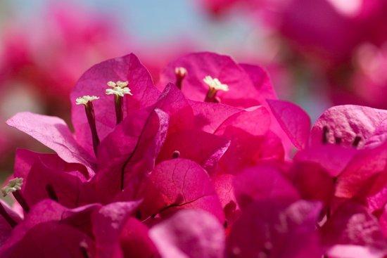 Bougainvillea flowers 843 Art Print