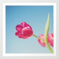 . Sun Kissed Tulip .  Art Print