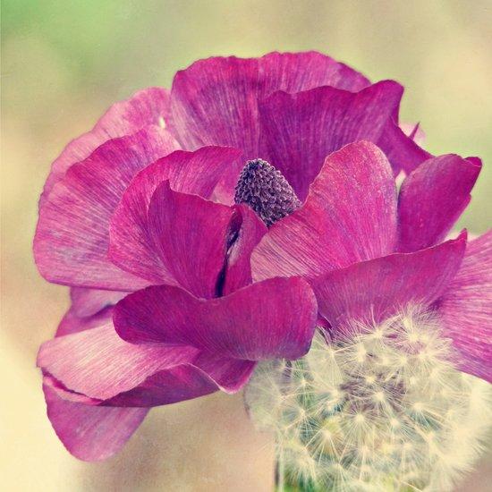 Pink Ranunculus Flower Close -- Spring Botanical Art Print