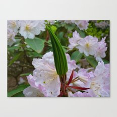 Rhododendron flower leaf cluster Canvas Print