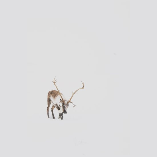 Iceland Reindeer Art Print