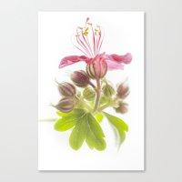 Wild Geranium Canvas Print