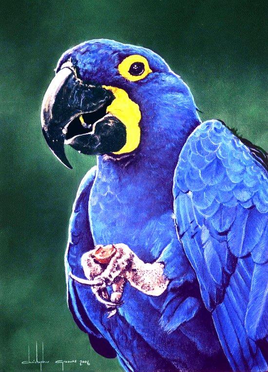 Hyacinth Macaw Art Print