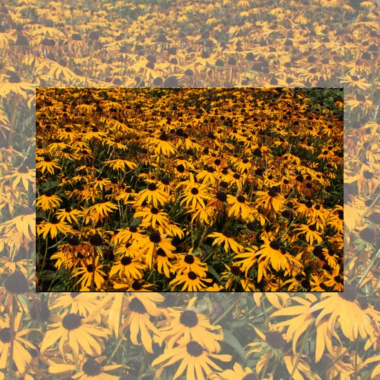 Black-Eyed Susans Art Print