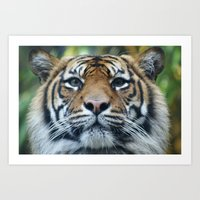 Tigers Glorious Stare Art Print