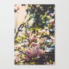 Magnolias in spring Canvas Print