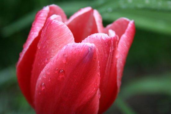 Tulip in red Art Print