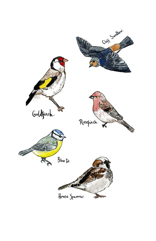 English Birds Art Print